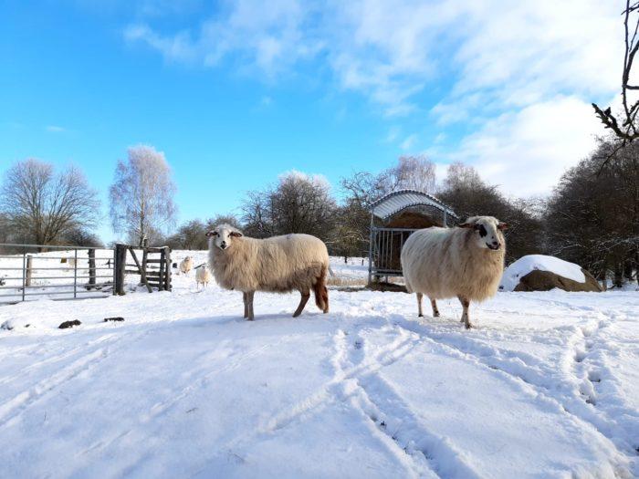 Schafe im Naturschutzgebiet Hoeltigbaum